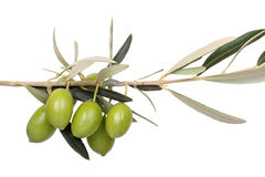 Olives on branch. Five green olives on branch Stock Photos