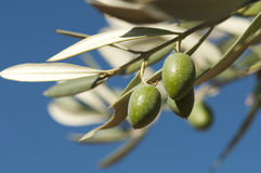Olives on a branch Stock Images
