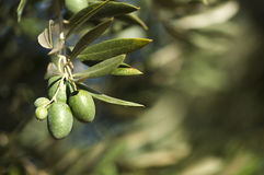 Olives on a branch Royalty Free Stock Images