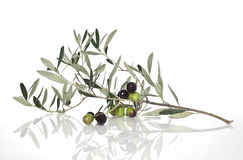 Olives on the branch. Branch of olive tree with olives  on white Stock Photos