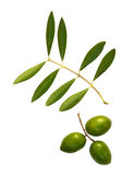 Olives and branch. Green olives with olive leaves isolated on white stock images