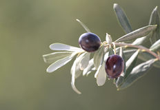 Olives on branch, close up Stock Photos