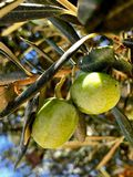 Olives on a branch. Close up green olives on a tree. Royalty Free Stock Photos