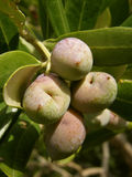 Olives branch Stock Photo