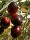 Olives branch 1 Stock Photography