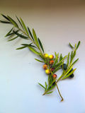 Olives on branch Royalty Free Stock Images