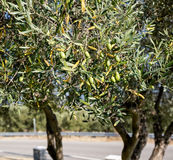 Olives on branch. Green olives on branch, outdoor Royalty Free Stock Images