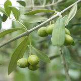 Olives on a branch. Olives on branch with leaves Stock Photo
