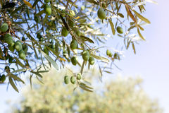 Olives on branch in nature Stock Images
