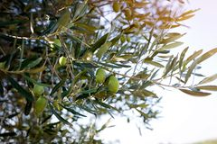 Olives on branch in nature. Green Olives on branch in olive yard in nature Royalty Free Stock Photos