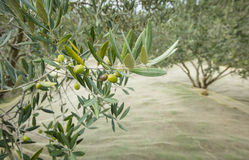 Olives on the branch and net for collecting harvest Royalty Free Stock Photography