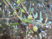Olives3 stock video