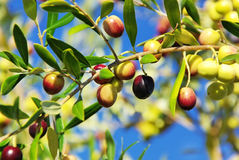 Olives on branch at Portugal. Stock Photography