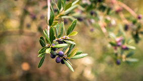 Olives on a branch. Royalty Free Stock Photography