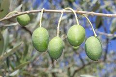 Olives on the branch. Some olives on the branch Stock Photos