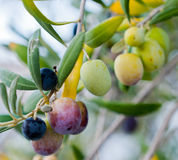 Olives on a branch of a tree Royalty Free Stock Image
