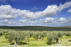 Olives and clouds. Royalty Free Stock Photo