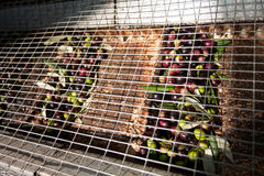 Olives in conveyor belt. Before processing for oil making Royalty Free Stock Photography