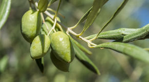 Olives of the Cornicabra variety Royalty Free Stock Photo