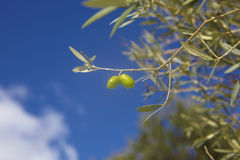 Olives in crete, Greece Stock Image