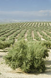 Olives cultivation Stock Photography