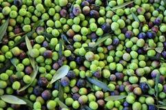 Olives d'Arbequina Images libres de droits
