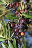 Olives damaged by hail. Load a branch of olives damaged by hail stock images