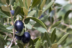 Olives dans l'arbre - noir Photos stock