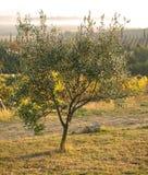 Olives dans le brouillard Images libres de droits