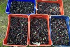 Olives dans le domaine image stock