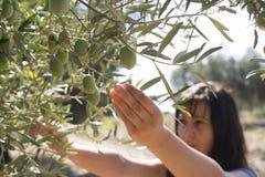 Olives de cueillette Images stock