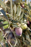 Olives de maturation neuves Photographie stock