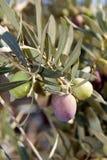 Olives de maturation neuves Photographie stock