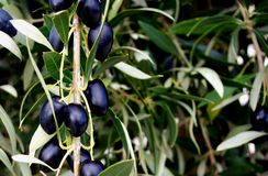 Olives de McLaren Vale Photo libre de droits