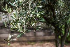 Olives en bois photographie stock libre de droits