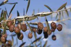 Olives en mauvais état Photographie stock libre de droits