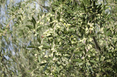 Olives. In farm at Crete Island Greece,Europe Royalty Free Stock Image