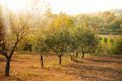Olives field Stock Photos