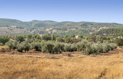 Olives fields Royalty Free Stock Photography