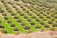 Olives fields Stock Photo