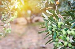OLIVES. Finest olives on the olive tree, Greece, Cret Stock Image