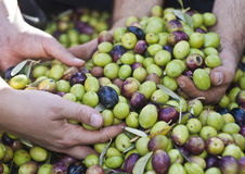 Olives in four hands. Sicily Stock Images