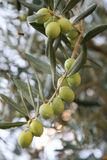 Olives fraîches Photographie stock