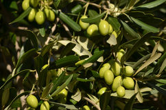 Olives fraîches Image libre de droits
