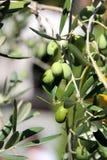 Olives fraîches Images stock