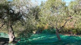 Olives fraîches vertes et noires sur l'olivier et la branche Moissonnant dans le cultivar de la Ligurie, de l'Italie, du Taggiasc banque de vidéos