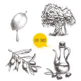 Olives fruit, branch, tree and olive oil bottle sketches set. Hand drawn vector illustrations. Isolated on white background Stock Image