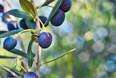 Olives fruits on the branches of the tree royalty free stock photos