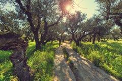 Olives garden Royalty Free Stock Photo
