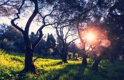 Olives garden Stock Photos